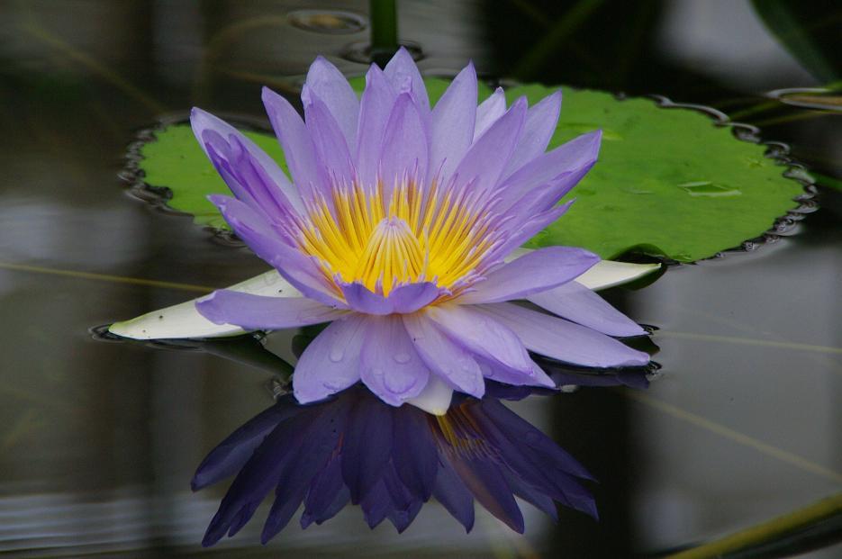 Lotus moyen